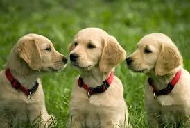 3 cute golden retriever